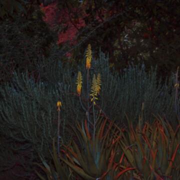 Aloe Vera by night
